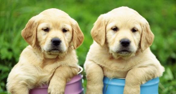 犬 レトリバー 可愛い ペット