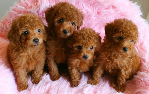 トイプードル 犬 可愛い