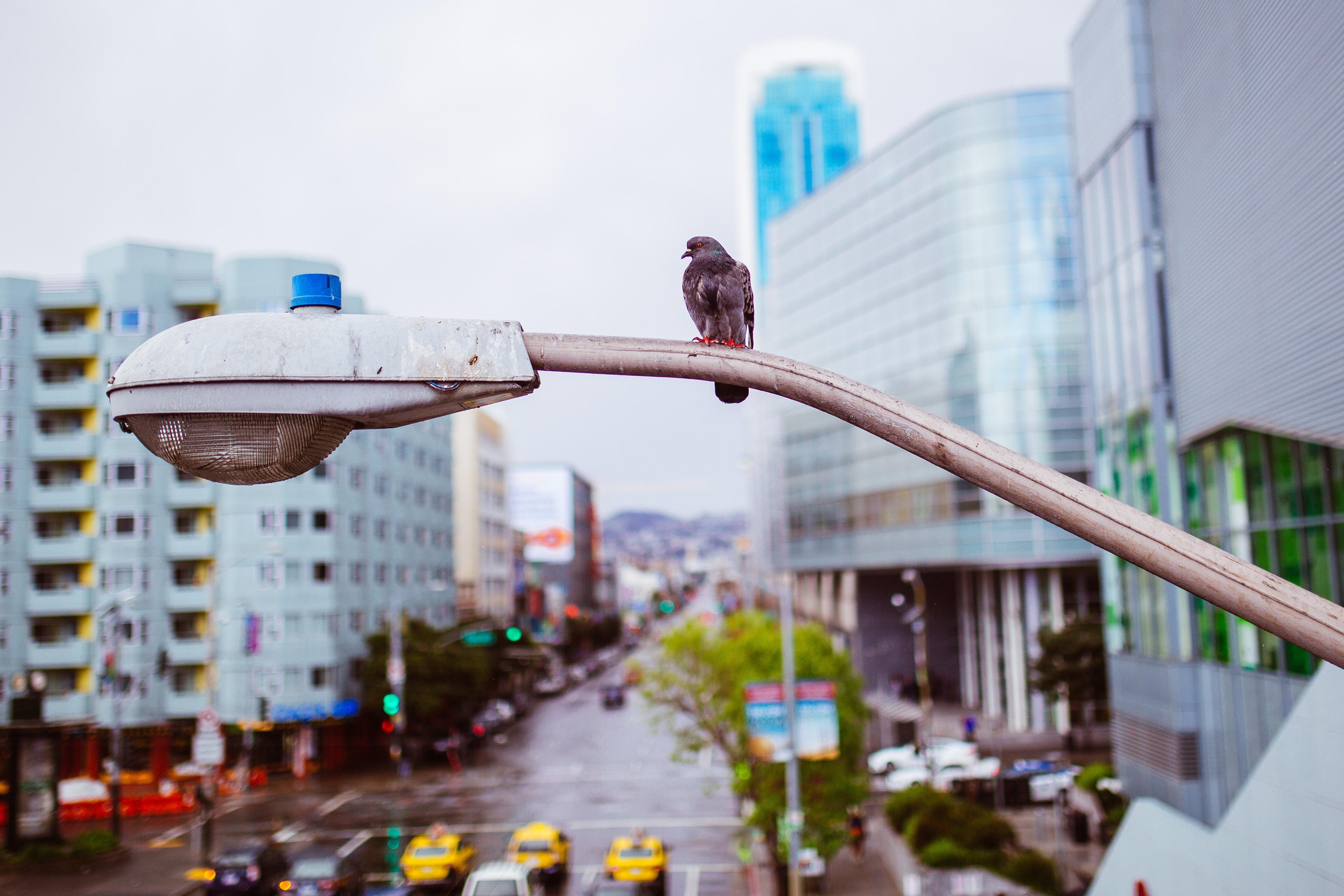 信号機に乗る鳩