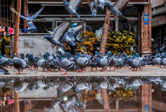 水たまりに集まる鳩
